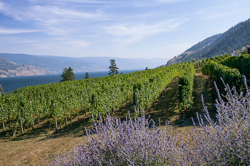 Russian sage, vines and Pines on the shores of Okanagan Lake